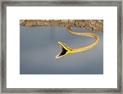 Brown Vine Snake, Oxybelis Aeneus Framed Print