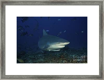 Bull Shark Surrounded By Reef Fish Framed Print