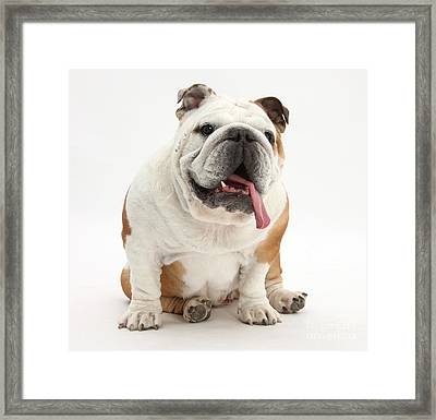 Bulldog Framed Print by Mark Taylor