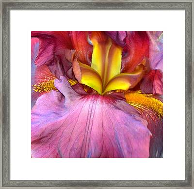 Burgundy Iris Framed Print by Randy Rosenberger