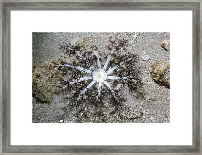 Burrowing Sea Cucumber Framed Print by Georgette Douwma