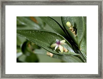 Butcher's Broom (ruscus Aculeatus) Framed Print by Bob Gibbons