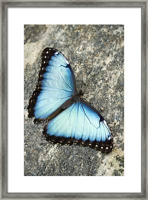 Butterfly, Niagara Botanical Gardens Framed Print