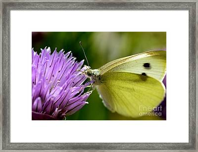 Butterfly On Chives Framed Print by Thomas R Fletcher