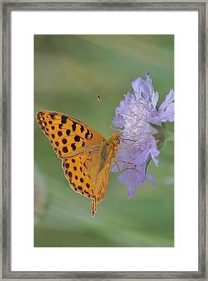 Butterfly On Right Position Framed Print by Meeli Sonn