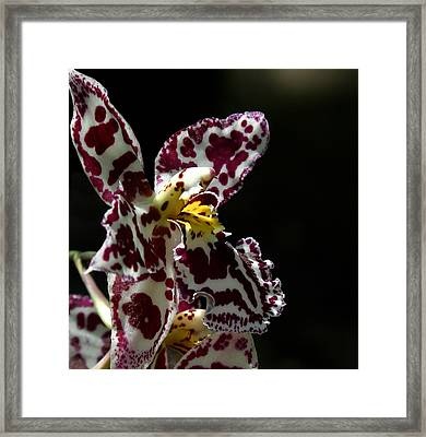 C Ribet Orchids Framed Print by C Ribet