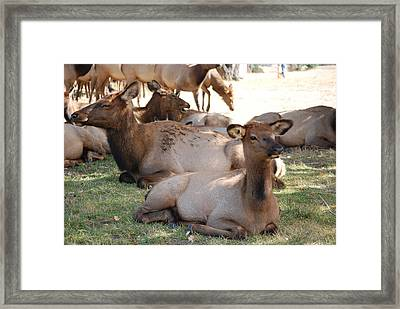 Calf Elk Framed Print by Richard Adams