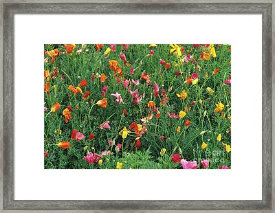 California Poppies Framed Print by Duncan Smith