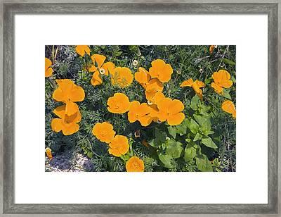 Californian Poppy (eschscholzia Sp.) Framed Print by Dr Keith Wheeler