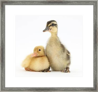 Call Duckling And Mallard Duckling Framed Print