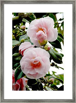 Camellia Flowers (camellia Japonica) Framed Print by Dr Keith Wheeler