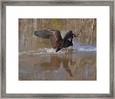 Canada Goose Landing C0255a Framed Print by Paul Lyndon Phillips