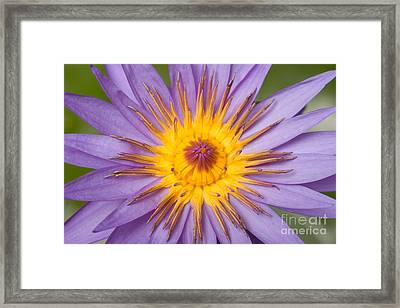 Cape Blue Waterlily Nymphaea Capensis Framed Print by Ted Kinsman