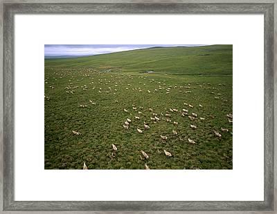 Caribou, Rangifer Tarandus Framed Print