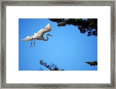 Carmel Egret Framed Print by Harvey Barrison