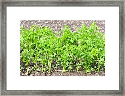 Carrot Crop Framed Print by Tom Gowanlock