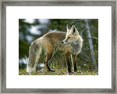 Cascade Red Fox Framed Print by Bob Gibbons