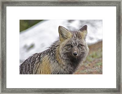Cascade Red Fox Framed Print