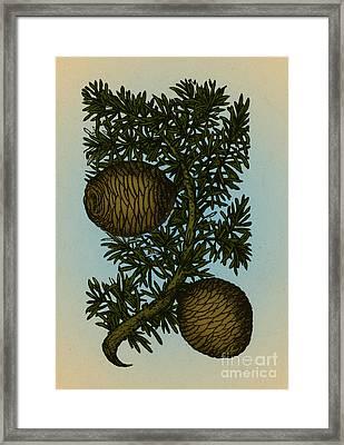 Cassia Tree, Alchemy Plant Framed Print by Science Source
