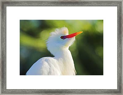 Framed Print featuring the photograph Cattle Egret-2-st Lucia by Chester Williams