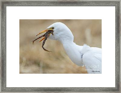 Cattle Egret With Dinner Framed Print