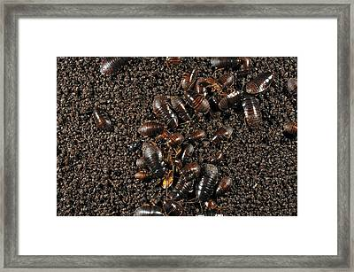 Cave Cockroaches On Bat Guano Framed Print