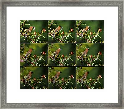 Cedar Wax Wing Having Lunch Framed Print by Jim Boardman