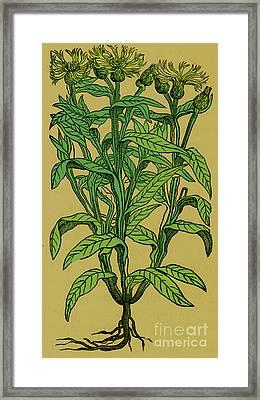 Centaurea Montana, Bachelors Button Framed Print by Science Source