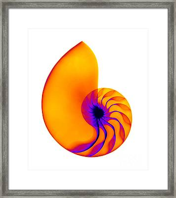 Chambered Nautilus Shell Framed Print by Ted Kinsman