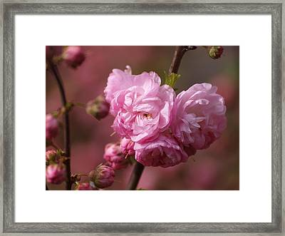 Cherry Blossoms Framed Print by Philip G