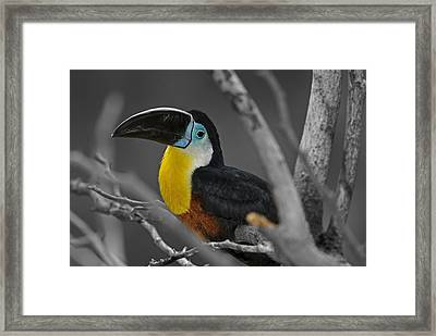 Chestnut Mandibled Toucan  Framed Print by JT Lewis