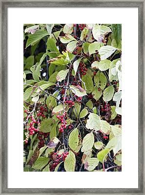 Chinese Schisandra (schisandra Chinensis) Framed Print