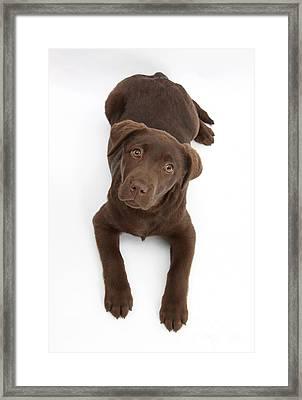 Chocolate Labrador Pup Framed Print