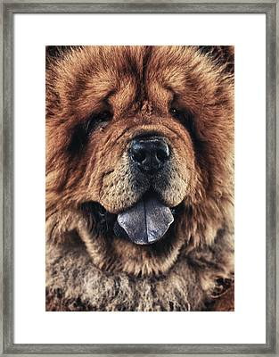 Chow Chow  Framed Print by Stelios Kleanthous