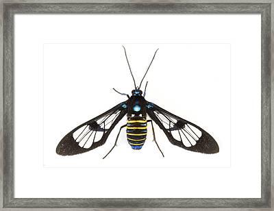 Clearwinged Tiger Moth Tapanti Np Costa Framed Print by Piotr Naskrecki
