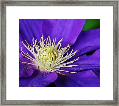 Clematis Close Up Framed Print by Bruce Bley