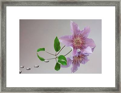 Clematis 'filigree' Framed Print by Shirley Mitchell