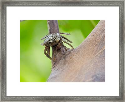 Climbing Crab Framed Print by Mike Rivera