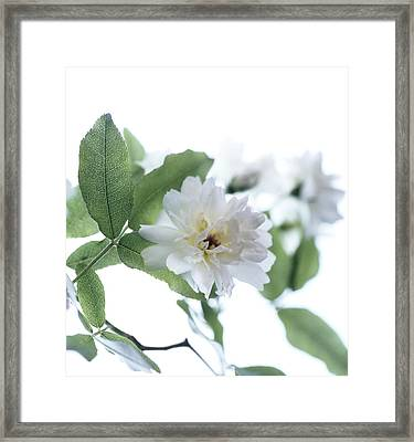 Climbing Rose (rosa Sp.) Framed Print by Cristina Pedrazzini