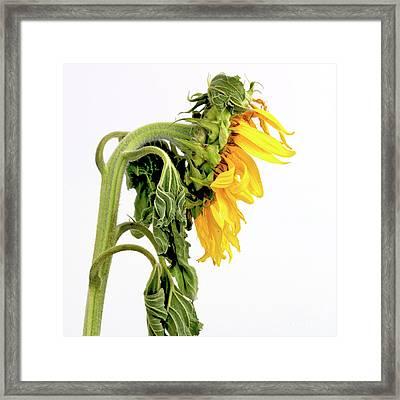Close Up Of Sunflower. Framed Print by Bernard Jaubert