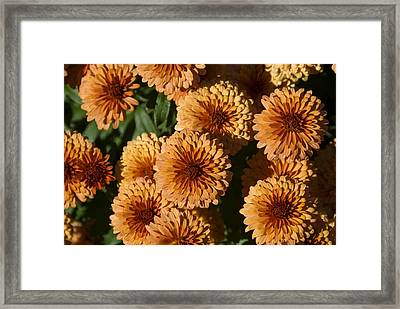 Close-up View Of Orange Mums In Bloom Framed Print by Todd Gipstein