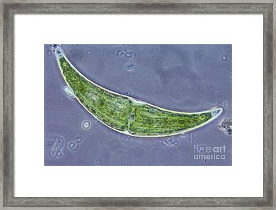 Closterium Sp. Algae Lm Framed Print by M. I. Walker