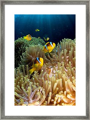 Clown Fish (amphiprion Bicinctus), St Johns Reef, Red Sea, Egypt Framed Print