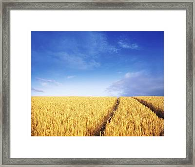 Co Carlow, Ireland Barley Framed Print by The Irish Image Collection