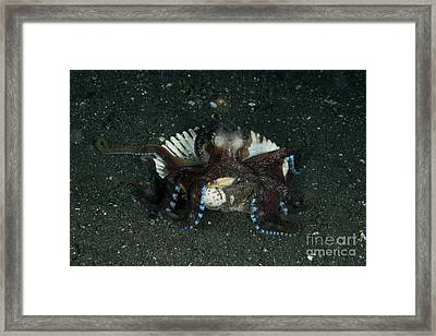Coconut Octopus In Shell, North Framed Print by Mathieu Meur