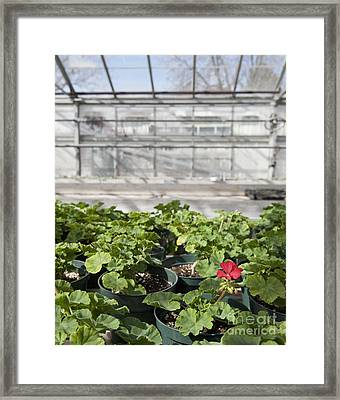 Colorful Geraniums In A Greenhouse Framed Print