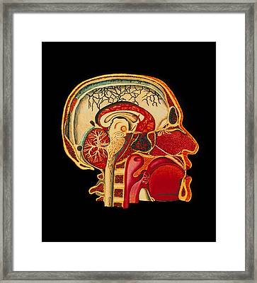 Coloured Illustration Of Sectioned Brain In Head Framed Print by Mehau Kulyk