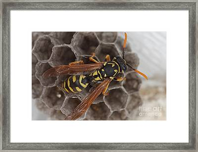 Common Wasp Framed Print by Ted Kinsman