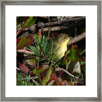 Common Yellowthroat  Framed Print by Deborah Johnson