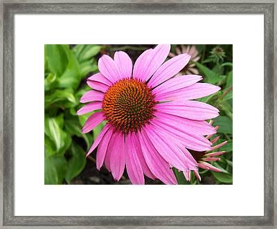 Cone Flower Framed Print